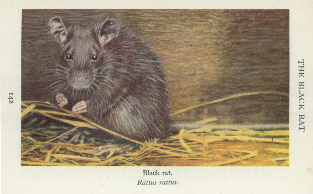 Pic of a rat, black rat, alan dedman, studio dedman